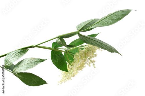 Fototapeta Fresh Sambucus nigra on a white background obraz