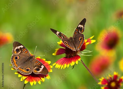 Buckeye butterflies on Indian Blanket flowers
