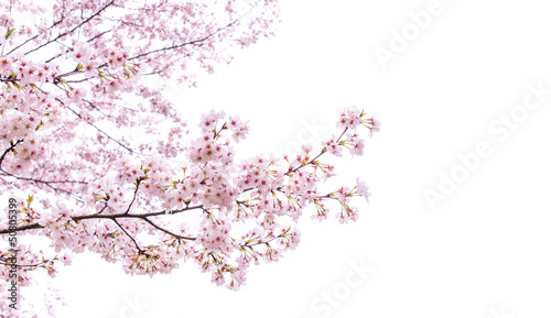 isolated sakura tree Fototapet