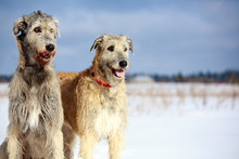 Two Irish Wolfhound Dog In Winter Field