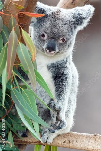 Papiers peints Koala koala