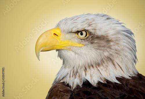 Poster Aigle Picture of a bald eagle on a brown background