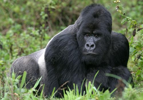 Photo  Berggorilla aus den Virunga Bergen, Ruanda