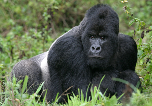 Berggorilla aus den Virunga Bergen, Ruanda Poster