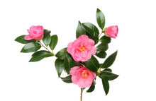Camellia Flowers And Foliage