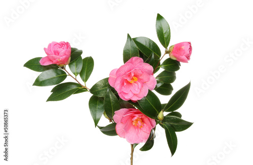 Fotografija Camellia flowers and foliage