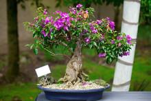 Beautiful Bonsai Bougainvillea...
