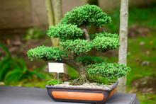 Beautiful Juniper Bonsai  In A...