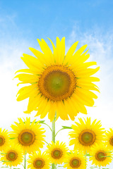 Fototapeta Sunflower