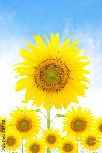 Sunflower - 50878922