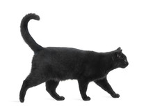 Side View Of A Black Cat Walki...