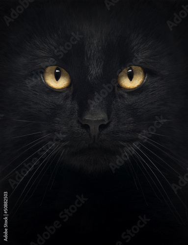 Close-up of a Black Cat looking at the camera - 50882503