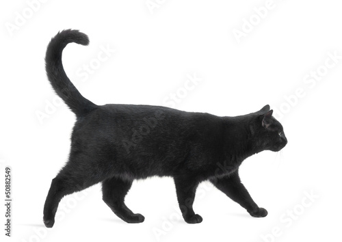 Cuadros en Lienzo Side view of a Black Cat walking, isolated on white