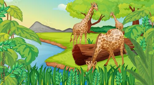 Canvas Prints River, lake Three giraffes at the riverside