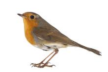 European Robin - Erithacus Rub...