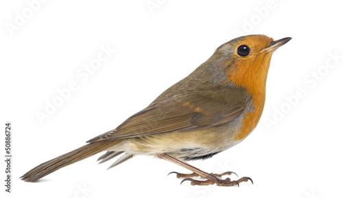 European Robin - Erithacus rubecula - isolated on white Canvas Print