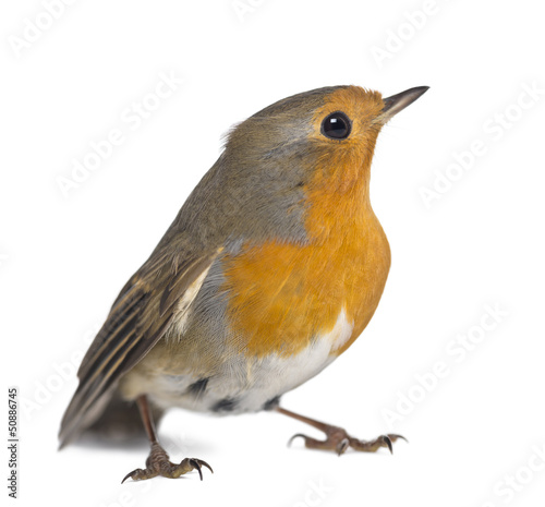 European Robin - Erithacus rubecula - isolated on white
