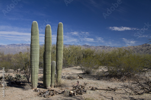 Papiers peints Cactus Saguaro in landscape III