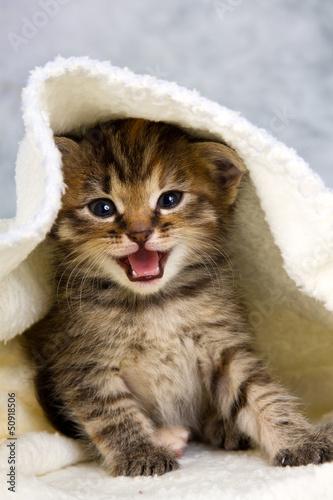 Fototapety, obrazy: Kitten closed in towel