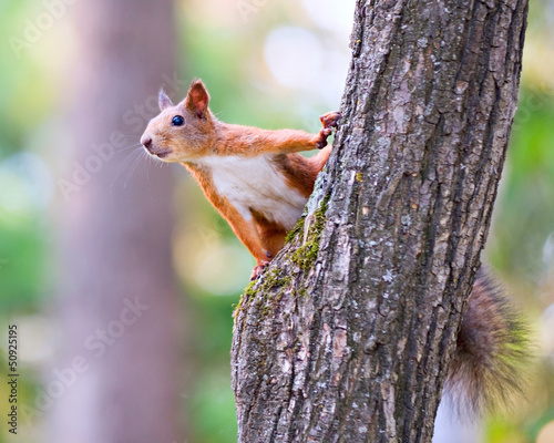 Photo sur Toile Squirrel Squirrel