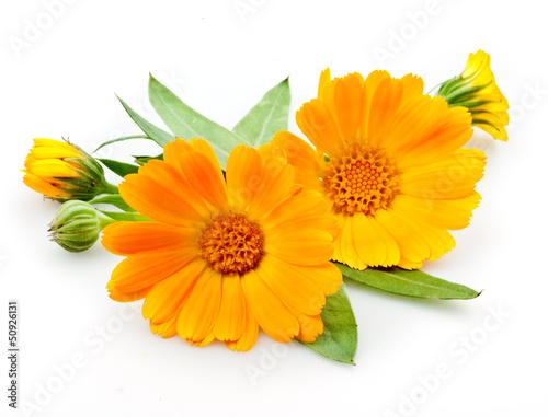 Fotomural  Calendula. flowers with leaves isolated on white