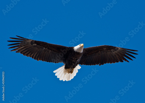 Fotografering  Bald Eagle soars overhead from the left