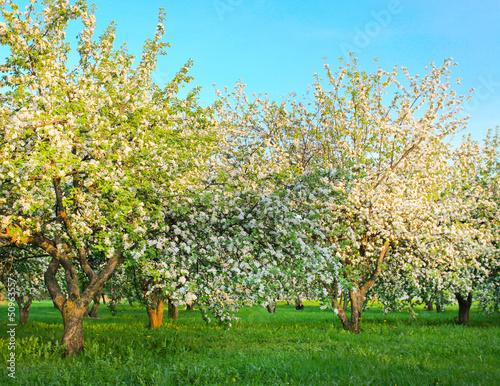 Naklejka premium Kwitnące jabłonie nad błyszczącym niebieskim niebem w wiosna parku