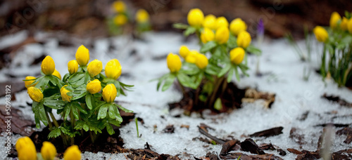 Closeup of winter aconite group with snow Canvas Print