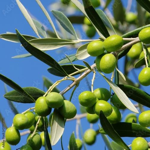 Foto op Plexiglas Olijfboom Olive 50