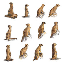 The Vector Set Of Meerkat In M...