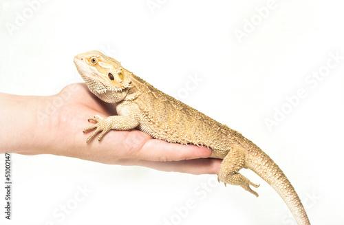 Deurstickers Luipaard lizard pogona viticeps sitting in hand