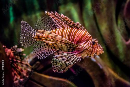 Photo  Close up view of a venomous Red lionfish