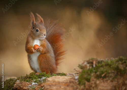 Spoed Foto op Canvas Eekhoorn Red squirrel looking right