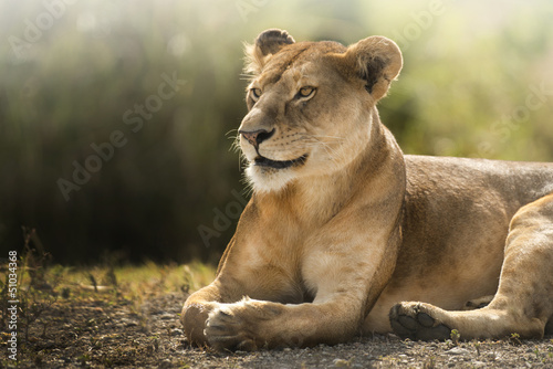Fotografie, Obraz  sguardo di leonessa