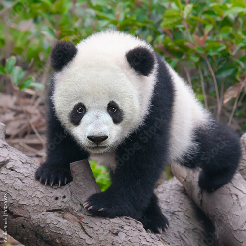 Stickers pour porte Panda Cute young panda cub