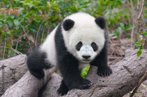 Photo Cute young panda cub