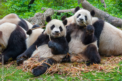 Photo Panda bears eating together