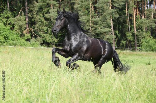 Fotografía  Black friesian stallion running