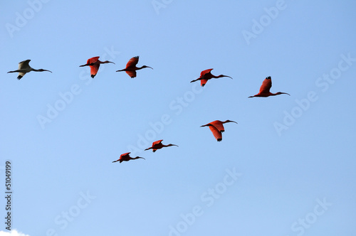 Photo  Scarlet Ibis squadron