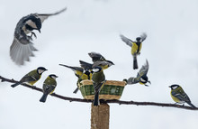 Titmouse Birds Eating Seed From Bird Feeder In Winter Time