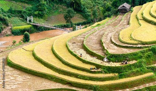 Poster Rijstvelden Terraced fields being harvested, Mu Cang Chai district, Yen Bai