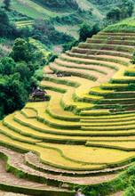 Terraced Fields Being Harvested, Mu Cang Chai District, Yen Bai