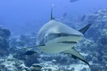A Grey Shark Jaws Ready To Att...
