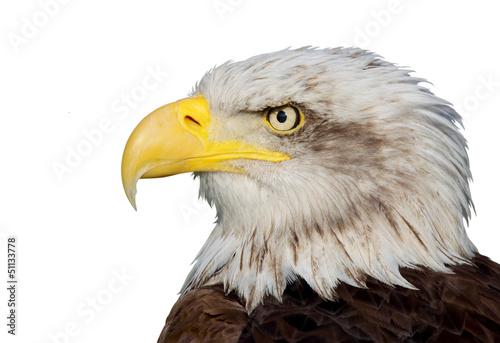 Poster Aigle bald eagle