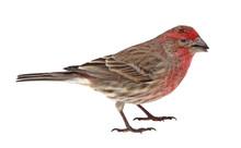 Finch, Carpodacus Mexicanus, I...