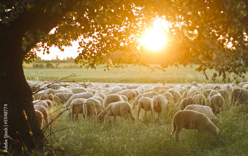 Obraz na płótnie A Flock of sheep grazing on pasture grass during sunset