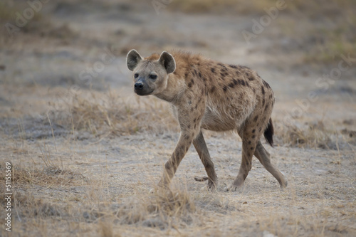 Poster Hyène Hyena walking in the Savannah