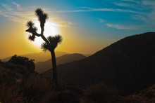 Silhouette Of Joshua Tree At S...