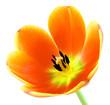 Voll aufgeblühte Tulpe auf weiß