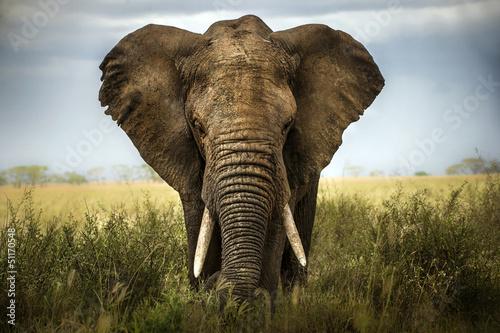 sfondo di elefante Canvas Print